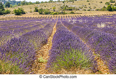 Lavender landscape in the south of France