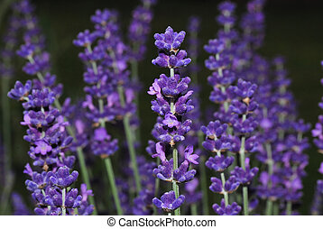 purple lavender flowers in spring large view