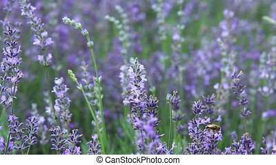 Lavender (Lavandula) with camera motion