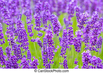Lavender meadow close up