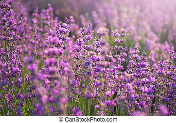 Lavender meadow - Lavender closeup. Composition of nature.