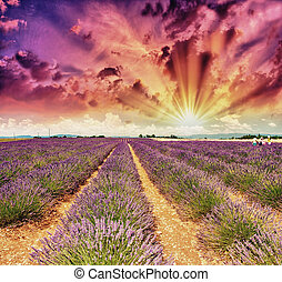Lavender meadows in summer, Provence - France.