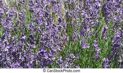 Lavender moving camera footage - Moving camera footage of...