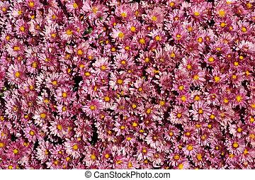 Lavender Mums