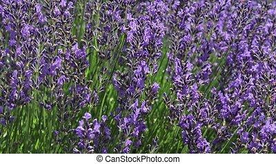 Lavender oblique moving camera footage - Oblique moving...