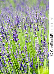 Lavender - Close up of lavender field in Provence - France
