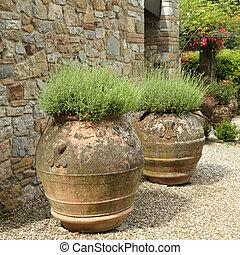 lavender plant in ceramic vases in tuscan garden