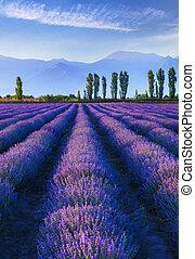 Lavender plantation at sunset in summer