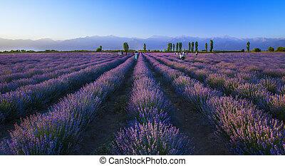 Lavender plantation at sunset in summer.