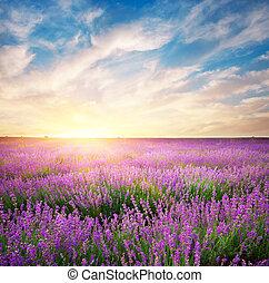 lavender., pré