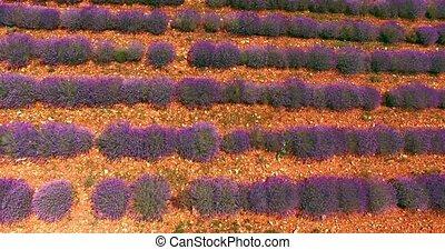Lavender purple field - Top view of lavender purple field....