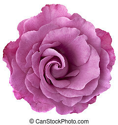 Lavender Rose - Beautiful lavender-hued rose, isolated on...