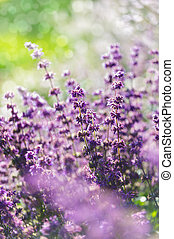 Lavender, shallow depth of field