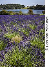 Lavender - United Kingdom