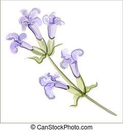 lavender., vecteur, illustration