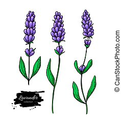 Lavender vector drawing set. Isolated wild flower and leaves. Herbal artistic style illustration.
