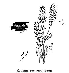 Lavender vector drawing set. Isolated wild flower and leaves. Herbal engraved style illustration. Detailed botanical sketch for organic cosmetic, medicine, aromatherapy, beauty store, perfume,