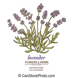 lavender vector illustration - lavender flowers on white...