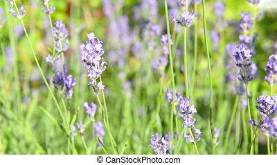 Lavender violet flowers shake on wind - Lavender violet...