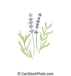 Lavender. Watercolor lavanda on the white background,...