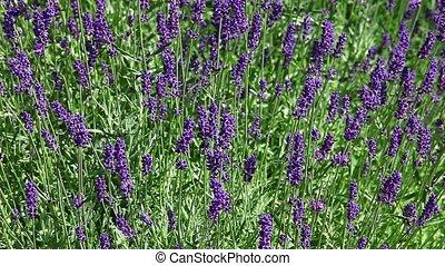 Lavender wildflowers - purple lavender flowers by wind
