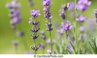 Lavenders flowers in a field