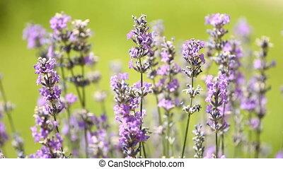 Lavenders flowers in a field