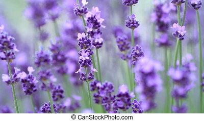 Lavenders flowers.