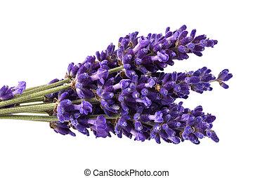 lavendula, bouguet, の上, 隔離された, 背景, すみれ, 終わり, 白い花