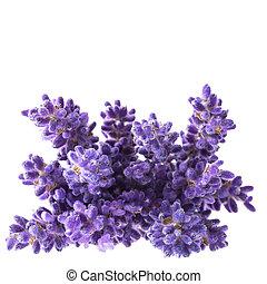 。, lavendula, bouguet, 隔離された, 背景, すみれ, 終わり, 白い花