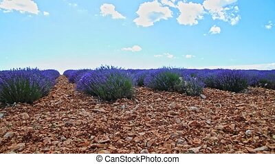 Lavnder bushes on ground - View on lavender plants from...
