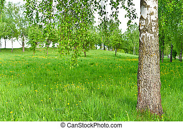 Lawn in the spring birch grove