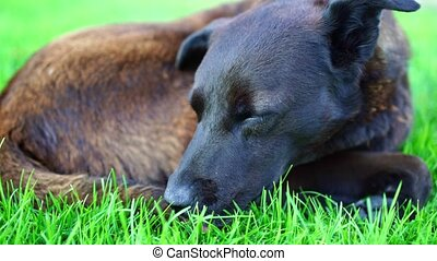 lawn., mensonges, chien, errant, grand, noir, vert