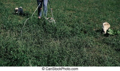 Lawn mower. Dogs run after a woman who mows the grass with a...