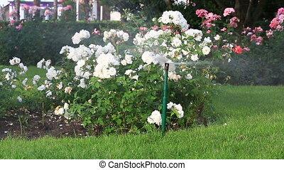 Lawn Sprinkler in Action. Garden Sprinkler Watering Grass....