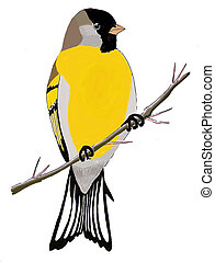 Lawrences Goldfinch - Spinus lawrencei