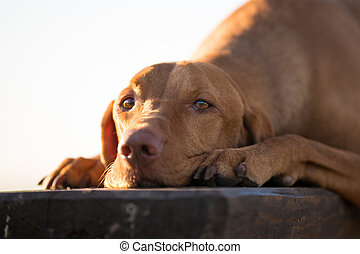 Lay down hungarian vizsla dog on wooden chair in spring