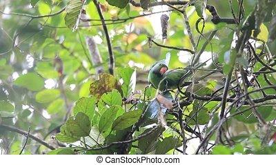 Layard's Parakeet (Psittacula calthropae) in Sri Lanka