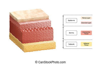 cross-section illustration of human skin, composed of three primary layers: epidermis, dermis and subcutis