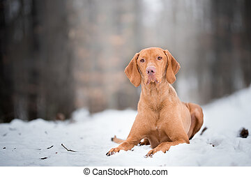 Laying down portrait of vizsla dog on snow