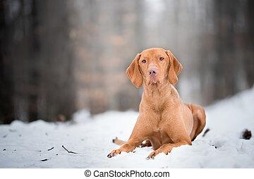 Laying down portrait of vizsla dog on snow