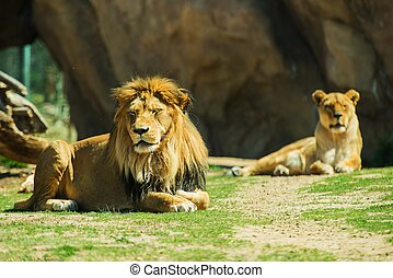 Laying Lions. Male and Female Lions on the Grass.