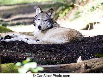 Laying Wolf