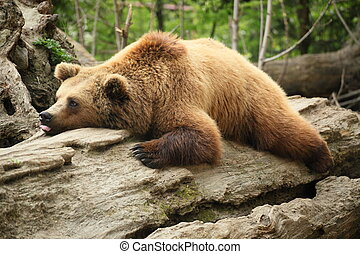 lazy bear is laying on an old tree
