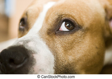 Lazy dog - American staffordshire terrier