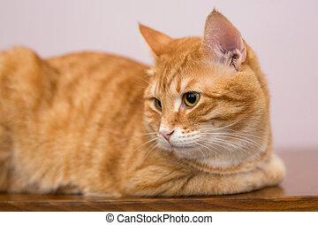 Lazy ginger cat