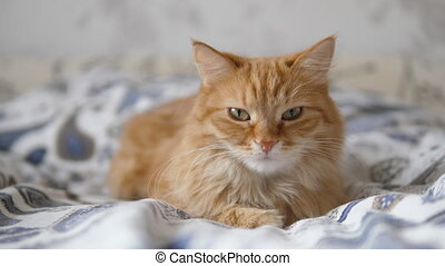 Lazy ginger cat sleeps in bed. Cute fluffy pet stares sleepily. Domestic animal has a nap on bed. Slow motion.