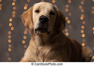 lazy golden retriever puppy sticking out tongue