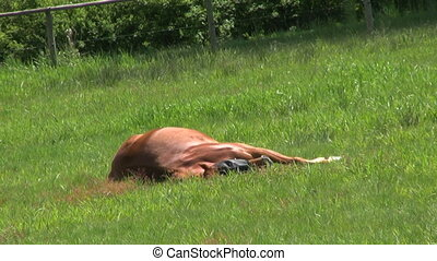 Lazy Horse Taking A Nap - A Lazy Horse Taking A Nap In A...