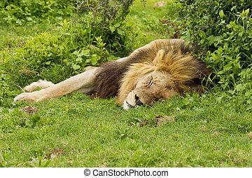 Lazy lion